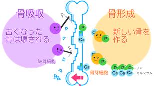 骨代謝(リモデリング)